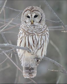 Barred Owl ... night sounds on the porch from Between Naps on the Porch