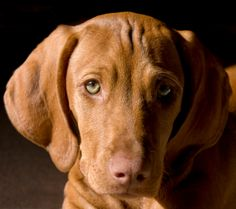 Vizsla's leave a big hole! My Aranyka marked my soul with unconditional love! How I'll miss her!