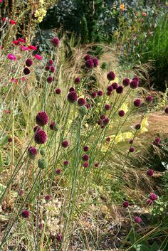 drumstick allium is a lovely ornamental onion for the garden - BEAUTIFUL!