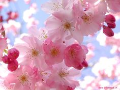 Flower Wallpaper Backgrounds A flower, sometimes known as a bloom or blossom, is the reproductive structure found in flowering plants (plan. Cherry Blossom Flowers, Pink Blossom, Blossom Trees, Pretty In Pink, Beautiful Flowers, Apple Blossoms, Colorful Flowers, Beautiful Things, Beautiful Pictures