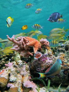 Colorful tropical fish with starfish and sponge by A school of colorful tropical fish with a red sea star and pink sponge in a coral reef beneath the water surface, Caribbean sea Tropical Fish Aquarium, Tropical Fish Tanks, Aquarium Sharks, Fish Ocean, Sea Photography, Underwater Photography, Fishing Photography, Editorial Photography, Life Under The Sea