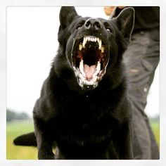 Wicked Training Your German Shepherd Dog Ideas. Mind Blowing Training Your German Shepherd Dog Ideas. Long Haired German Shepherd, Black German Shepherd Dog, German Shepherd Pictures, German Shepherd Puppies, German Shepherds, Pomeranian Breed, Military Dogs, Schaefer, Dog Activities