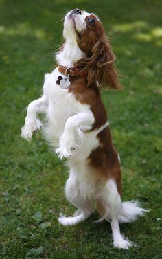 Resultado de imagen para cavalier king charles spaniel barks