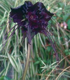 "The black bat flower, or tacca chantrieri, is exceptionally rare and quite beautiful. The flowers can reach over 12″ in diameter and each bloom typically has many ""whiskers"" that can grow to two feet or more in length."