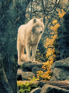 Wolf by onona, via Flickr
