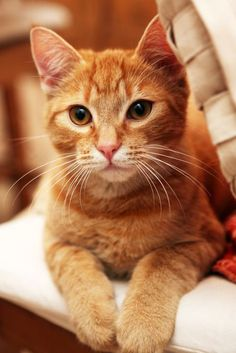 Scientists have found that different genetic combinations can affect the color, pattern, and length of a cat's fur. But what does that mean for orange cats? Are all orange cats male? Orange Tabby Cats, Red Cat, Pretty Cats, Beautiful Cats, Kittens Cutest, Cute Cats, Ragdoll Kittens, Funny Kittens, Bengal Cats