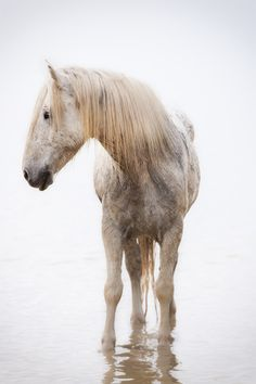 Camargue Horse by Marco Carmassi