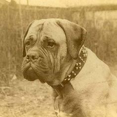 Mastiff Dog Breed Information Mastiff Dog Breeds, Akc Breeds, Mastiff Puppies For Sale, Bullmastiff, Pitbulls, History, Pets, Animals, Historia