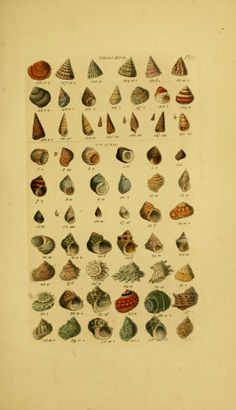1856 - Index testaceologicus, - shells - Biodiversity Heritage Library