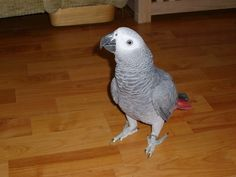 How to Stop an African Grey Parrot From Biting