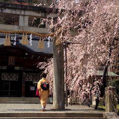 【fansuzi】さんのInstagramをピンしています。 《神社、鳥居、櫻花、和服,還有甚麼比這些更日本呢? 那日的天氣變化非常快,就在陽光灑落的間斷裡,一對中年夫婦前來參拜賞櫻。先生穿著輕便的西服、帶著貝雷帽,忙著用鏡頭捕捉櫻花前的太太,太太笑得燦爛如花。 那笑容,是幸福啊! 我也忍不住笑了。 #日本#京都#japan#Kyoto#山科#やましな#Yamashina#大石神社#OishiShrine#櫻#桜#さくら#Cherryblossoms#お花見#和服#わふく#wafuku#げいしゃ#着物#きもの#kimono#小紋#こもん#komo#しあわせ#幸い#幸福#捷星航空#和服之星》