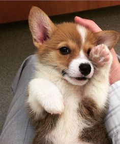 Cutest little corgi puppy! Dog Boarding In Orlando & Dog Daycare & Dog Boarding Facilities Source by rockysretreat The post Dog Boarding In Orlando Cute Corgi Puppy, Corgi Dog, Cute Dogs And Puppies, Baby Dogs, Husky Puppy, Korgi Puppies, Funny Puppies, Collie Puppies, Pomeranian Puppy