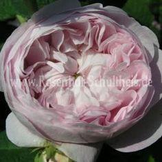 Duchesse de Montebello - Zartrosa - Rosa_gallica - Historische_Rosen - Rosen - Rosen von Schultheis