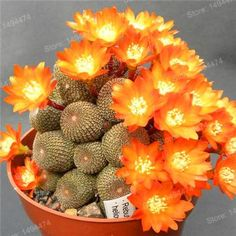 100pcs/bag mixed color rare succulent plant Succulent Cactus Lithops Pseudotruncatella seeds