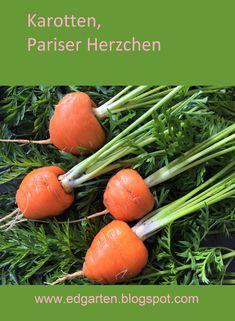 In der Schweiz wird diese kleine runde Karottensorte seit dem 1. Weltkrieg angebaut. Heute wird sie nur noch im St. Galler Rheintal ausgesät. Die Ernte dort beträgt 2'000 t Pariser Karotten und alle werden zu Konservengemüse verarbeitet. Es sind diejenigen Karotten, die wir oft zusammen mit Erbsen in der Büchse kaufen können. Jetzt weisst du bestimmt, welche Karotten ich anpflanzte.  #edgarten #gartenblog #karotten Carrots, Vegetables, Food, Fruits And Vegetables, Parisian, Harvest, Switzerland, Carrot, Vegetable Recipes
