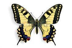 papillon: Commune machaon (Papilio machaon) isolé sur fond blanc