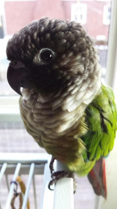 I see your cutest lovebird and raise you the cutest conure ever. http://ift.tt/2uBGj5i