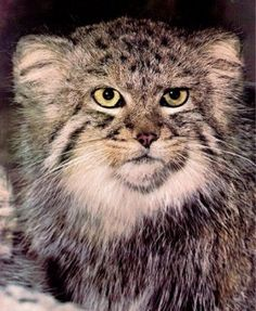 Servals - Lesser-Felid - Pallas' Cat or Manul Rare Cats, Exotic Cats, Beautiful Cats, Animals Beautiful, Felis Manul, Wild Cat Species, Pallas's Cat, Small Wild Cats, Serval Cats