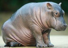 Cute baby hippo!!!!!!!