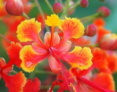 Amazing Flowers, Colorful Flowers, Pride Of Barbados, Delonix Regia, Flower Fence, Soil Layers, Seed Pods, Potting Soil, Small Trees