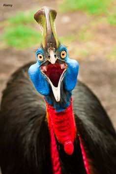Photo about Images of Australian cassowary look into the camera angry face. Image of multi, front, nature - 30204797 Deadly Animals, Dangerous Animals, Cassowary Bird, Rainforest Habitat, Guinea Fowl, Flightless Bird, Funny Birds, Tropical Forest, Exotic Birds