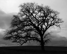 A lonely bare bur oak tree.  Awesome.
