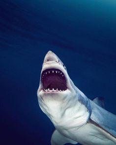 Photo by - whiteshark - greatwhite - shark - requin blanc - sharkdiving Cat Shark, Shark Bait, All Types Of Sharks, Cool Sharks, Daily Pictures, Great White Shark, Small Cat, Shark Week, Big Fish