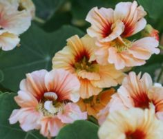 Nasturtium Gleam Salmon seeds for sale online Seeds For Sale, Garden Beds, Salmon, Raising, Plants, Image, Ebay, Garden Bed, Atlantic Salmon