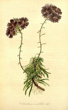 v.2 (1846) - Flore des serres et des jardins de l'Europe - Biodiversity Heritage Library