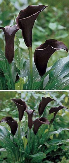 Black Calla Lilies ❤︎