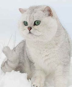 British Shorthairs-this silver shaded hidden in snow!