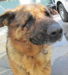 Blind/Deaf Shelter Dogs: CODE RED!! CA, Bakersfield GSD w/Eye Issues **I'm So Scared-Help Me!**