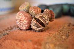 Living stones #lithops #succulents #suculentas