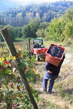 grape harvest in the vineyards near Vendemmia, Monferrato, Piemonte, Italy