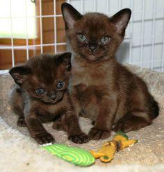 sable Burmese kittens