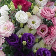 Lisianthus. These are my favorites.