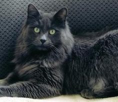 Russian Blue Cats Kittens Nebelung (also known as Longhaired Russian Blue) - Dorian Grey Cats, Blue Cats, Nebelung Cat, Kitten Care, Russian Blue, Owning A Cat, Domestic Cat, Beautiful Cats, Cat Breeds