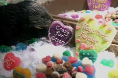 The Georgia Aquarium Sea Otters are back at it again, this time basking in bunch of Valentine's Day-themed treats.