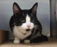 KALE - A1111548 - - Brooklyn  *** TO BE DESTROYED 05/17/17 *** Black & White cutie, only a year old! Needs rescue now!! -  Click for info & Current Status: http://nyccats.urgentpodr.org/kale-a1111548/