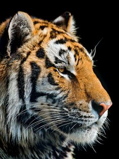 Beautiful Tiger by Tambako The Jaguar Tiger Pictures, Animal Pictures, Most Beautiful Animals, Beautiful Cats, Animal Paintings, Animal Drawings, Photo Tigre, Image Tigre, Cutest Animals