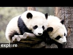 Here are some fun, interesting panda facts! The panda's diet is Bamboo, pandas do not hibernate, a baby panda cub is the size of a croissant when born, however pandas are facing extinction. Panda Cam, Panda Love, Panda Bears, Polar Bears, Bear Cubs, Live Animals, Baby Animals, Funny Animals, Panda Facts