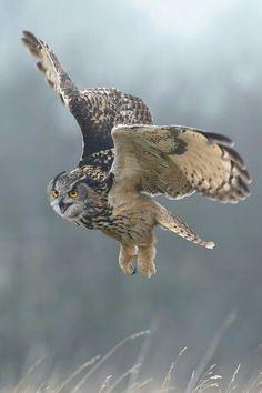 Virgin owl