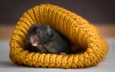 Much like humans, the hamster's immune system is suppressed if they get too cold. This makes them more vulnerable to virus or bacterial infections, and you might put them at risk of having hypothermia if you have a very young or old hamster. #hamsters #hamster #hamsterlove #hamsterlife #hamsterlover Hamster Food, Hamster Life, Baby Hamster, Hamster House, Hamsters As Pets, Cute Hamsters, Rodents, Free Pictures, Vulnerability