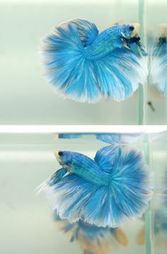 This is what my Puffy looked like, except there was also pink and purple through his body and fins!
