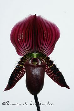 Paphiopedilum viniferum - Taxonomist are divided as to this is a true species or a variety of vinicolored Paph. callosum.