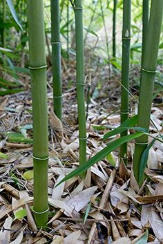 100+ Fresh Bamboo Seeds with Instructions - Phyllostachys Heteroclada