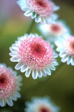 Pretty Pincushion-flower