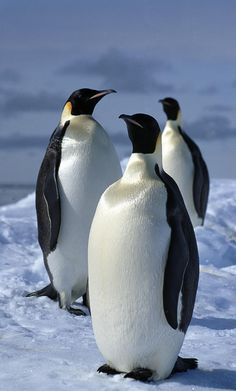Emperor Penguins on sea ice at Halley station , Antarctica.