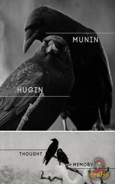 """In Norse Mythology, Hugin (""""thought"""") and Munin (""""memory"""" or """"mind"""") are a pair of ravens that are the shamanic helping spirits of the god Odin. These informants are two of the many sources of Odin's prodigious wisdom and it is from this associated that O Corvo Tattoo, Norse Pagan, Odin Norse Mythology, North Mythology, Raven Tattoo, Les Religions, Crows Ravens, Norse Vikings, Asatru"""