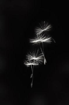 Make a wish beautiful Beautiful Images, Beautiful Flowers, Foto Macro, Dandelion Wish, Dandelion Seeds, Fotografia Macro, Seed Pods, Arte Floral, Macro Photography